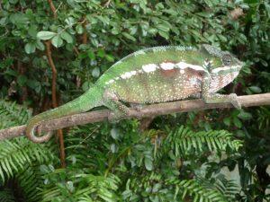 2016 Aug Chameleon